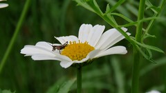 Marguerite des Alpes (bernard.bonifassi) Tags: bb088 06 alpesmaritimes 2019 printemps thiery counteadenissa canonpowershotsx60 fleur juin