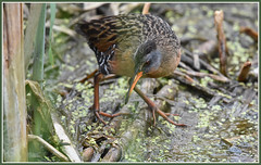 Virginia rail. (Ludo (Lone wolf) Bogaert.) Tags: xp