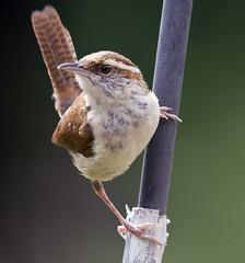 carolina wren bird (watts photos1) Tags: sparrow bird birds sparrows nature wild life wildlife carolina wren wrens