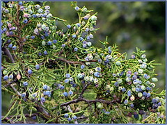 Juniper Berries (robinb44) Tags: juniper berries juniperberry bc canada flavour cones seeds seedcone pinophyta essentialoil antisepticantioxidant therapeuticoil gin