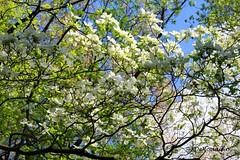Cherry Blossom Tree | Rock Creek Park (Stephenie DeKouadio) Tags: canon photography outdoor rockcreekpark trees park spring washington washingtondc dc dcphotos green colorful beautiful beauty people