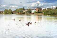 Geese on the lake at Watermead ... (Jackie ...) Tags: aylesbury buckinghamshire canoneosrp pancolar50mm18 vintagelenses