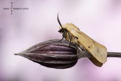 Buff Ermine moth (John Chorley) Tags: moth macro macros macrophotography bufferminemoth nature closeup closeups johnchorley wildlife 2019