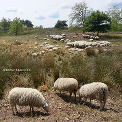 Sheep herd (Ineke Klaassen) Tags: sheep sheepherd schaapskudde schaap schapen kudde herd hatertseoverasseltsevennen hatertsevennen nature natuur natur outdoor outside sony sonya6000 sonyimages sonyalpha sonyalpha6000 sonyilce6000 gelderland geldersestreken geldersenatuur zoomnl guelders 1025fav 20favs 20faves 20fav 200views
