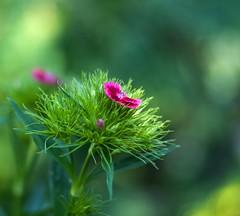 DSC_1340-2 (adenkis) Tags: carnation flower bokeh nature naturephotography natureinfocusgroup