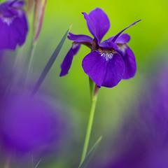 japanese iris GFX1753 (DannyBurkPhotography) Tags: japaneseiris flower spring purple violet focus bokeh 250mm fujifilm gfx50s