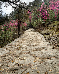 on the rhododendron trail... (CoSurvivor) Tags: himalaya chopta tungnath chandrashila rhododendron flower bloom forest hike trek garhwal india incredibleindia mountains nature landscape photography cosurvivor