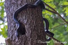 Black Rat Snake (Hawkins1977) Tags: beauty rat black canonphotography canon photography nature blackratsnake snake