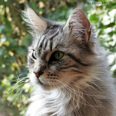 Floris en profile (Cajaflez) Tags: pet cat kat katze chat gatto pedigree raskat huisdier kater tomcat portret portrait profile floris mainecoon coth5