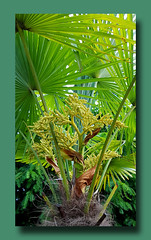 - our palm is blooming - (Jac Hardyy) Tags: our palm is blooming trachycarpus fortunei windmill chusan chinesische hanfpalme tessinerpalme frond fronds leaf leaves flower flowers bloom blooms blossom blossoms blüten palmblüte palmblüten palme palmwedel palmblatt palmblätter green grün blüte