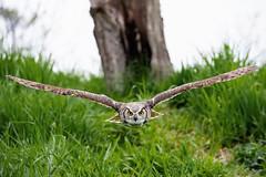 In his sights (Jen St. Louis) Tags: birds bird owl greathornedowl canadianraptorconservancy captive jenstlouisphotography wwwjenstlouisphotographycom nikond750 nikon70200mmf28 birdsinflight raptor prey