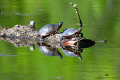 Painted turtle (TheEvilDonut Photography) Tags: outdoors woods forest animal wildlife turtle paintedturtle reptile water