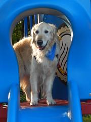 Sunny 23/52 (Lianne (calobs)) Tags: 52 weeks for dogs goldenretriever