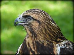 DSCN6250-2 (DianeBerky19) Tags: nikon coolpixp1000 bird birdofprey raptor hawk roughleggedhawk captive