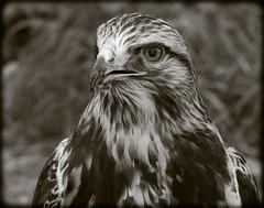 DSCN6147-2 (DianeBerky19) Tags: nikon coolpixp1000 bird birdofprey raptor hawk roughleggedhawk captive bw