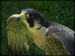 DSCN6141-2 (DianeBerky19) Tags: nikon coolpixp1000 bird birdofprey raptor falcon peregrinefalcon