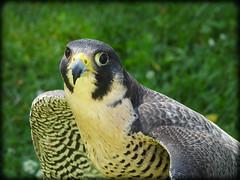 DSCN6140-2 (DianeBerky19) Tags: nikon coolpixp1000 bird birdofprey raptor falcon peregrinefalcon