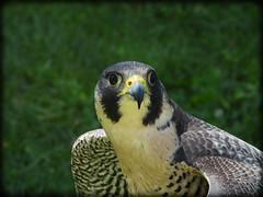 DSCN6139 (DianeBerky19) Tags: nikon coolpixp1000 bird birdofprey raptor falcon peregrinefalcon