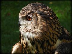 DSCN6080 (DianeBerky19) Tags: nikon coolpixp1000 bird birdofprey raptor owl eurasianeagleowl