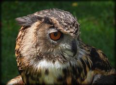 DSCN6078 (DianeBerky19) Tags: nikon coolpixp1000 bird birdofprey raptor owl eurasianeagleowl