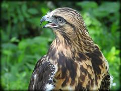 DSCN6067 (DianeBerky19) Tags: nikon coolpixp1000 bird birdofprey raptor hawk roughleggedhawk captive