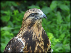 DSCN6064-2 (DianeBerky19) Tags: nikon coolpixp1000 bird birdofprey raptor hawk roughleggedhawk captive