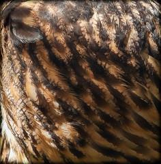DSCN6062 (DianeBerky19) Tags: nikon coolpixp1000 bird birdofprey raptor owl eurasianeagleowl