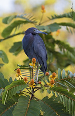 Garza azul (Evangelina Laura) Tags: egretta caerulea garza azul aves birds birdwatching wildlife nature costa rica