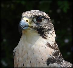 DSCN6227 (DianeBerky19) Tags: nikon coolpixp1000 bird birdofprey raptor falcon