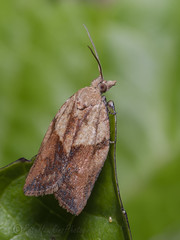 _IMG0627 Light Brown Apple Moth - Epiphyas postvittana (Pete.L .Hawkins Photography) Tags: petehawkins petelhawkinsphotography petelhawkins petehawkinsphotography 150mm irix macro pentaxpictures pentaxk1 petehawkinsphotographycom f28 11 fantasticnature fabulousnature incrediblenature naturephoto wildlifephoto wildlifephotographer naturesfinest unusualcreature naturewatcher insect invertebrate bug 6legs compound eyes creepy crawly uglybug bugeyes fly wings eye veins flyingbug flying light brown apple moth epiphyas postvittana