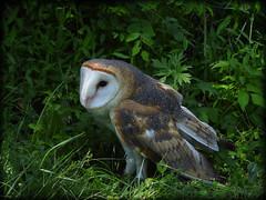DSCN6133 (DianeBerky19) Tags: nikon coolpixp1000 bird birdofprey raptor owl barnowl