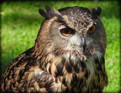 DSCN6128-2 (DianeBerky19) Tags: nikon coolpixp1000 bird birdofprey raptor owl eurasianeagleowl