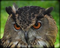 DSCN6124 (DianeBerky19) Tags: nikon coolpixp1000 bird birdofprey raptor owl eurasianeagleowl