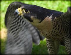 DSCN6073 (DianeBerky19) Tags: nikon coolpixp1000 bird birdofprey raptor falcon peregrinefalcon