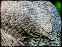 DSCN6054-2 (DianeBerky19) Tags: nikon coolpixp1000 bird birdofprey raptor falcon peregrinefalcon