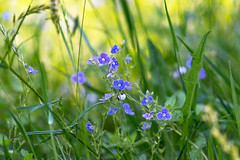 Tiny Flowers (gubanov77) Tags: flowers flora color blue bloom blossom nature grass herb macro dof bokeh depthoffield depth green greenery