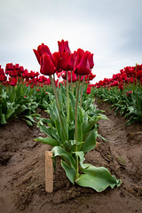 Holland Red (EBNovotny) Tags: tulips woodenshoe woodburn oregon floregon flowers spring tulip wooden shoe festival woodenshoetulipfestival tulipfestival outdoors morning