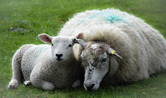 Lamb and Mum (littlestschnauzer) Tags: ysp country park yorkshire sculpture lamb ewe sheep together mum baby animals farm field rural countryside west yorks uk spring springtime 2019