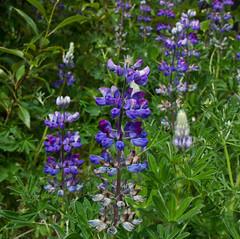 Nootka Lupine (tpeters2600) Tags: alaskaflower eos7d tamronaf18270mmf3563diiivcldasphericalif misc