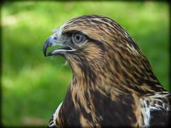 DSCN6251 (DianeBerky19) Tags: nikon coolpixp1000 bird birdofprey raptor hawk roughleggedhawk captive