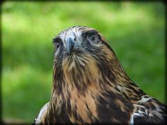 DSCN6248 (DianeBerky19) Tags: nikon coolpixp1000 bird birdofprey raptor hawk roughleggedhawk captive