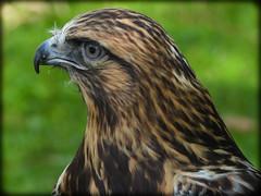 DSCN6238 (DianeBerky19) Tags: nikon coolpixp1000 bird birdofprey raptor hawk roughleggedhawk captive