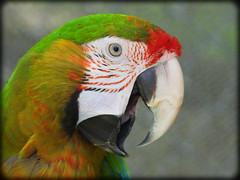 DSCN6175 (DianeBerky19) Tags: nikon coolpixp1000 bird parrot colorful colorfulfeathers