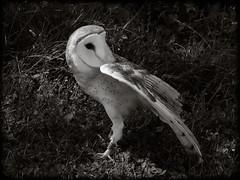 DSCN6093-2 (DianeBerky19) Tags: nikon coolpixp1000 bird birdofprey raptor barnowl owl bw
