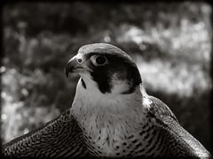DSCN6085-3 (DianeBerky19) Tags: nikon coolpixp1000 bird birdofprey raptor falcon peregrinefalcon bw