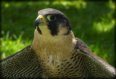 DSCN6084 (DianeBerky19) Tags: nikon coolpixp1000 bird birdofprey raptor falcon peregrinefalcon