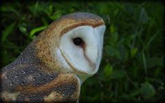 DSCN6083 (DianeBerky19) Tags: nikon coolpixp1000 bird birdofprey raptor owl barnowl