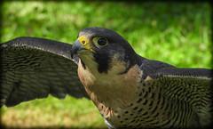 DSCN6074 (DianeBerky19) Tags: nikon coolpixp1000 bird birdofprey raptor falcon peregrinefalcon