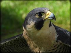 DSCN6069-2 (DianeBerky19) Tags: nikon coolpixp1000 bird birdofprey raptor falcon peregrinefalcon