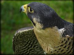 DSCN6068-2 (DianeBerky19) Tags: nikon coolpixp1000 bird birdofprey raptor falcon peregrinefalcon